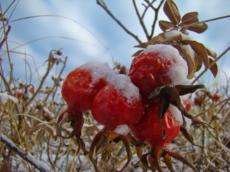 Frosted Beach Plum