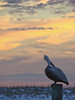 Pelican missing the Sunset 2