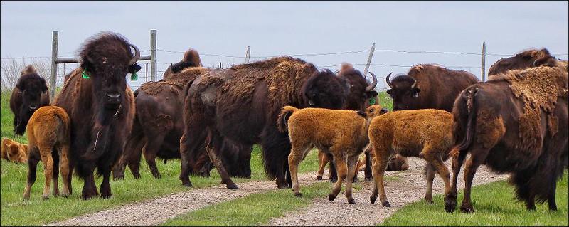 Buffalo Congestion