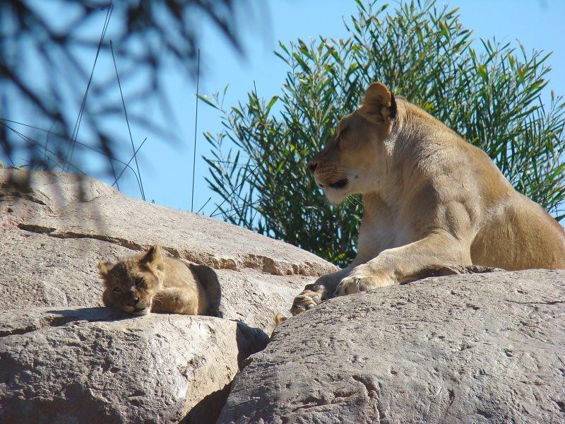 Lion Camp