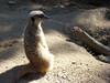 Guard Duty: Meerkat