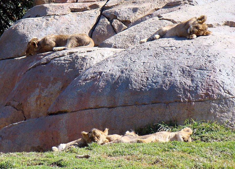 4 of 7 Lion Cubs