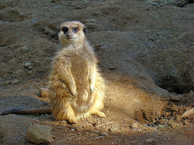 Meerkat: Watching you
