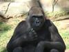 Lowland Gorillia