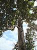 Big Tree: HDR