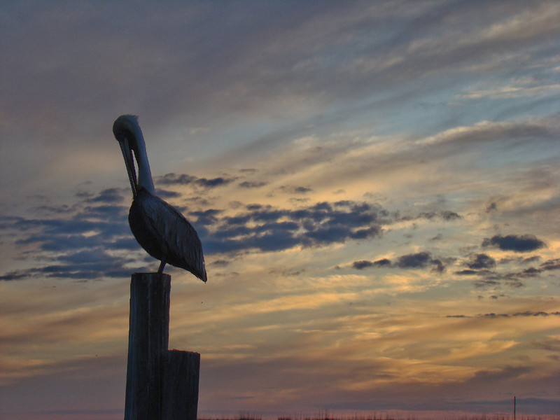 Pelican missing the Sunset