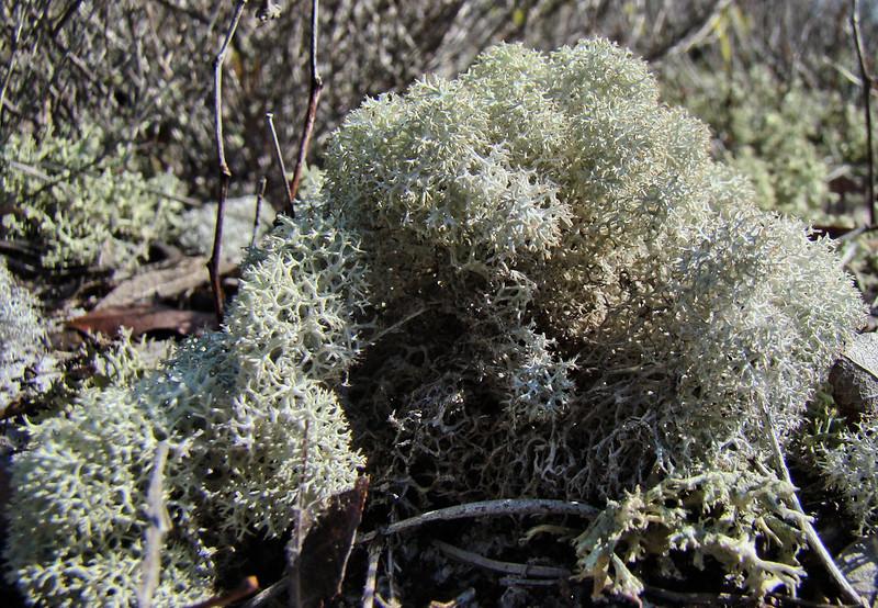 Leichen bush