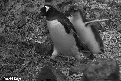 Gentoo chick and her mother go for a walk