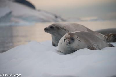 Leopard seals