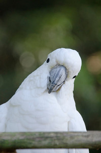 and cockatoos (2)