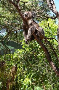 a koala in Healesville Wildlife Sanctuary near Melbourne
