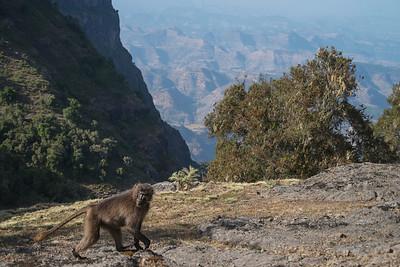 Gelada  baboons (endemic)