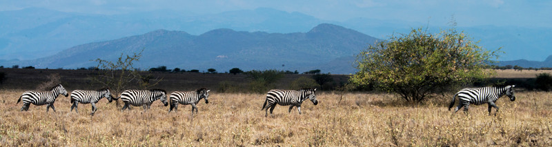 Burchell's Zebra (3 photos)
