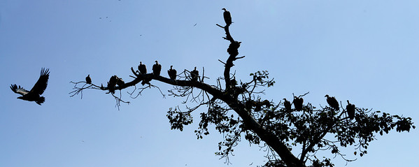White backed vultures, an endangered species, in the countryside near the Blue Nile falls