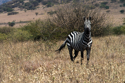 I'm on my knees for this photo wondering how I make my getaway if the zebra keeps coming closer.  Would it be my last photo.... As it turned out, only the last photo of this gallery!