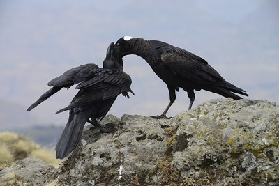 Whilst eating our lunch in the mountains, these endemic white billed ravens were also feeding