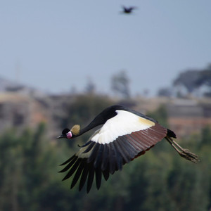 Apparently this is a rare sighting of a black crowned crane