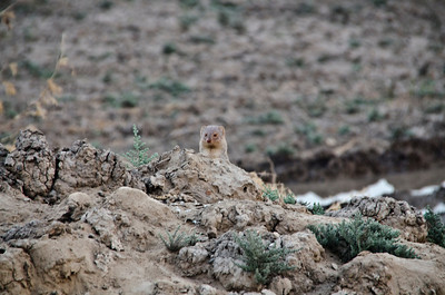 A mongoose peers out by the roadside