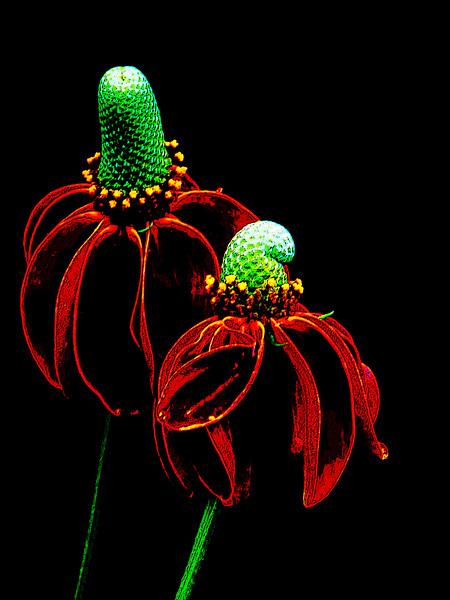Prairie Cone Flower