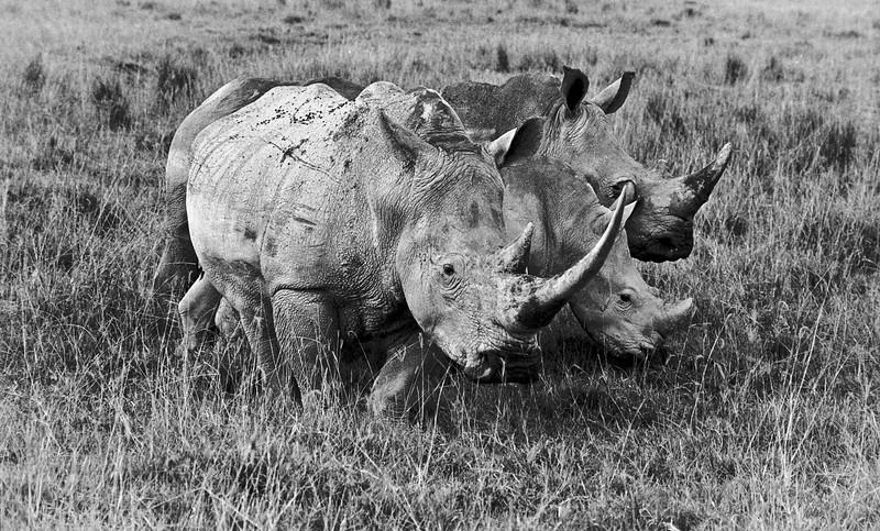 Rhino triplicate