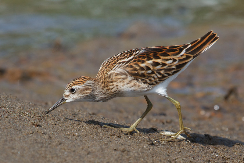 Long Toed Stints