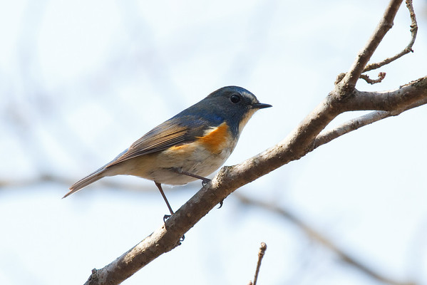 Red Flanked Bluetail.