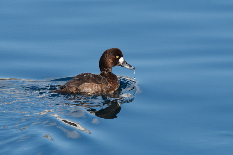 Great Scaup