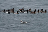 Long Tailed Duck and Great Scaup