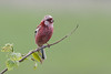 Long Tailed Rosefinch