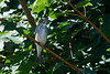 Grey Streaked Flycatcher