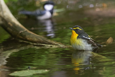 Narcissus Flycatcher