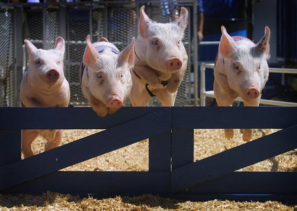 john green/staff 8/16/01 smc times news Pig Racing at the San Mateo County Fair.