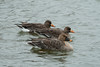 Bean Goose and White Fronted Goose