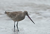 Bar tailed Godwit