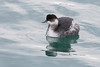 Black Necked Grebe