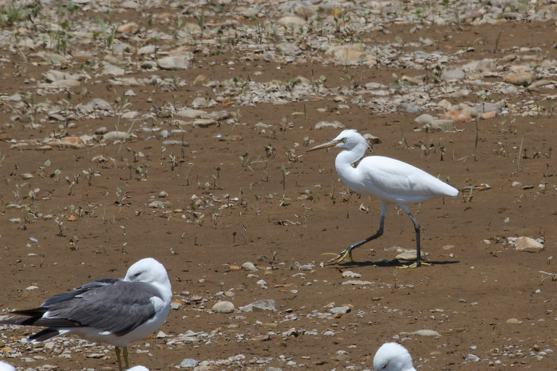 Swinhoes Egret