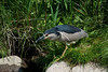Black Crowned Night Heron Black Crowned Night Heron