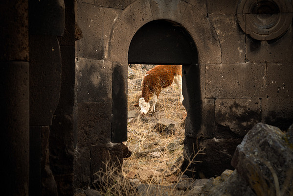 Cattle grazing in The Basilica. Ani, Eastern, Turkey.