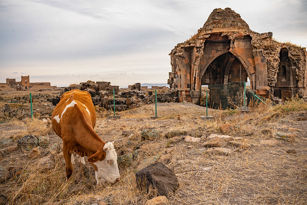 Cattle graze at the Church of the Holy Apostles, Ani. Eastern Turkey.