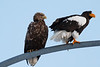 White Tailed Eagle and Stellers Sea Eagle