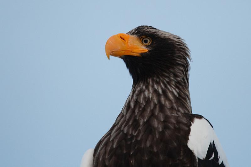 Stellers Sea Eagle