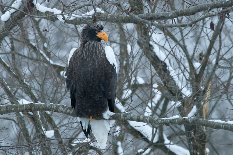 Eagle Season 2007/8