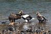 White Tailed Eagle and Stellers Sea Eagle