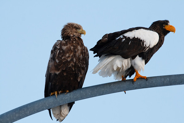 Stellers Sea Eagle and White Tailed Eagle together.