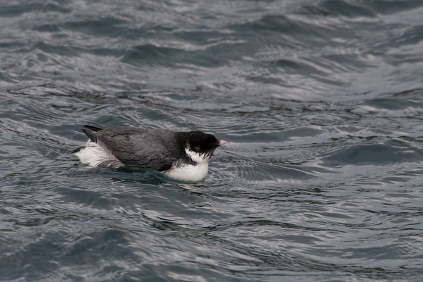 Ancient Murrelet Ancient Murrelet