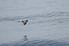 Fork Tailed Petrel