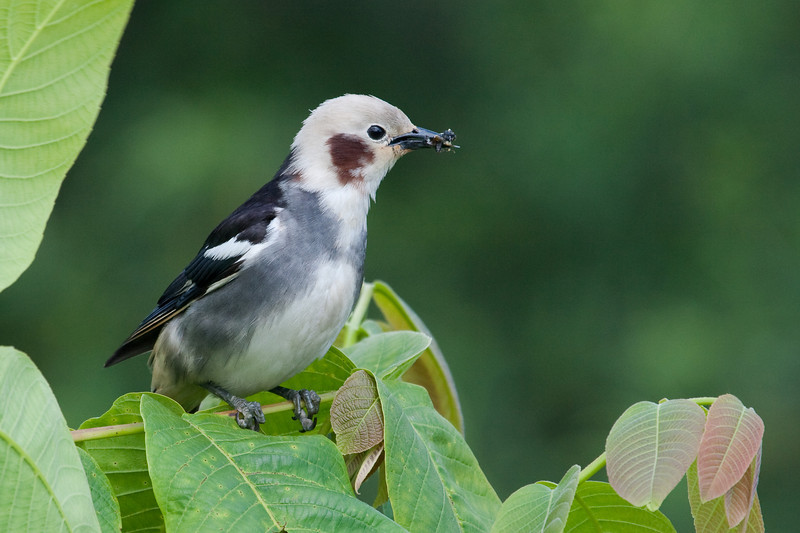 Red Cheeked Starling