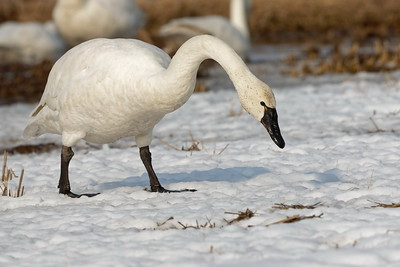 Whistling Swan