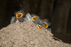 Barn Swallow chicks