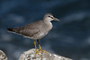 Grey Tailed Tattler